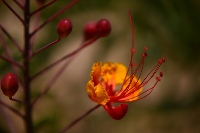 caesalpinia pulcherrima, pride of barbados, garden bloggers bloom day, small sunny garden, amy myers, photography, desert garden