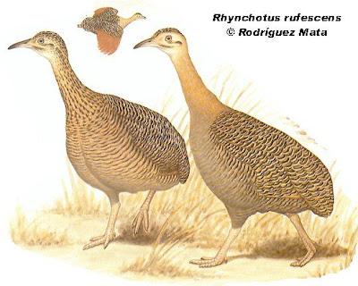perdices de Argentina Inambú colorado Rhynchotus rufescens