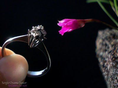 Botão floral da micro-orquídea Isabelia pulchella