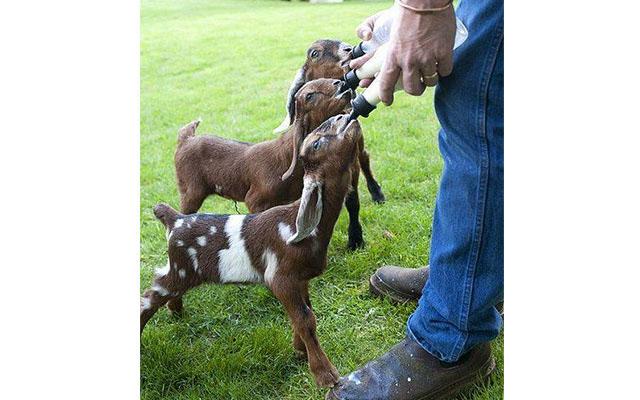 keçi resimleri