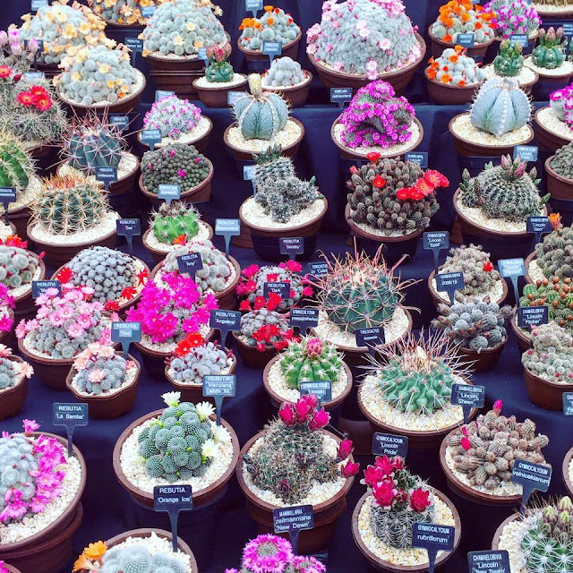 Pretty succulents and cactus from Chelsea flower show