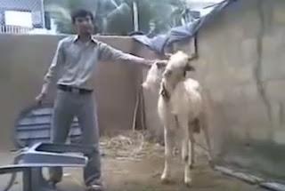Pakistani Funny Clips Fighter Bakra Eid Qurbani