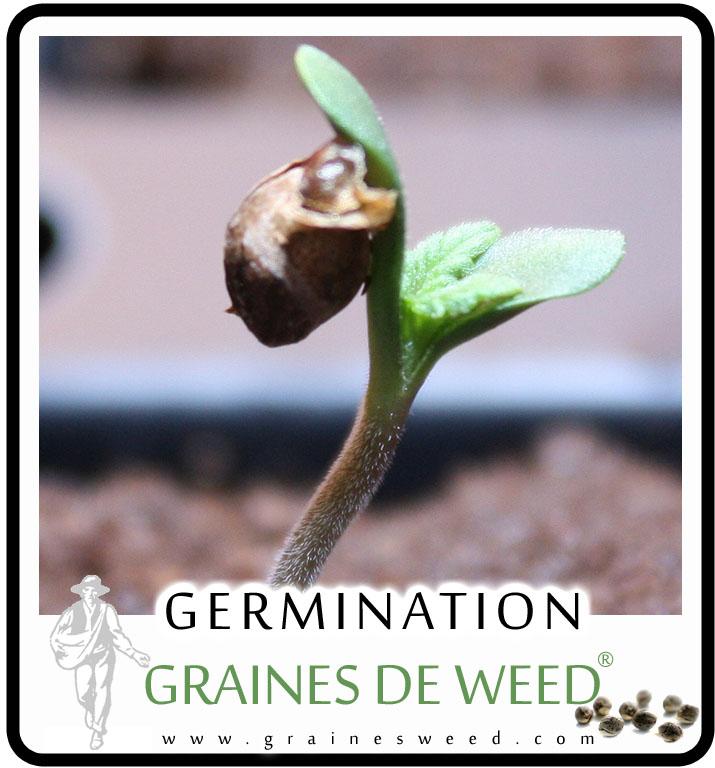 pousser du cannabis la germination des graines. Black Bedroom Furniture Sets. Home Design Ideas
