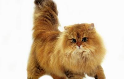 Harga Kucing Jenis Persia