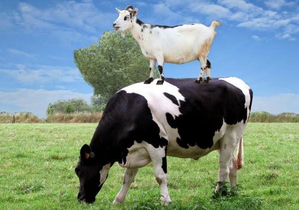 Kelebihan Susu Kambing Dibandingkan Dengan Susu Sapi