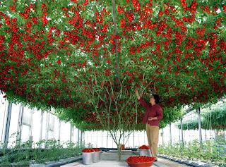 http://3.bp.blogspot.com/-B23ObxoC178/UfSabOtc3mI/AAAAAAAAL44/eX9aWx3YUrk/s1600/red_parand+tomatoplanting.jpg