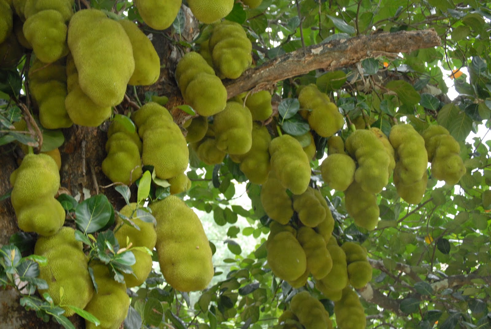 Images Of A Jackfruit Tree