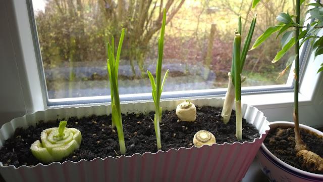 Gemüsereste wieder wachsen lassen (c) by Joachim Wenk
