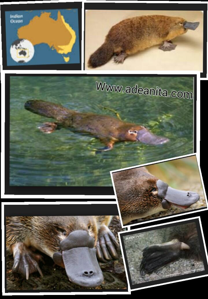 Platypus Ovovivipar : platypus, ovovivipar, Kisah, Cinta, Memilukan:, Legenda, Platipus, Ocehan, Anita