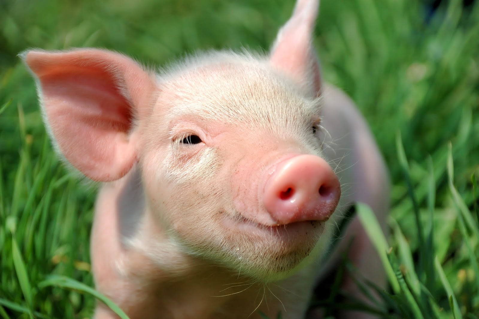 Interesting Facts About Pigs | Do You Know?  Interesting Fac...