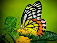 Butterfly Animal Pictures