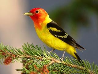 Manpaat Dan Kisaran Harga Obat Serak Untuk Burung Kenari Terbaru Saat Ini Paling Lengkap