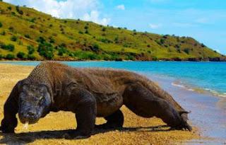 Report Text - Komodo Dragon (Varanus Komodoensis)