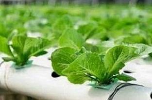 cara budidaya tanaman hidroponik,cara budidaya tanaman hidroponik sawi,cara budidaya hidroponik,budidaya hidroponik sayuran,budidaya tanaman hidroponik ppt,cara menanam hidroponik dengan media air,
