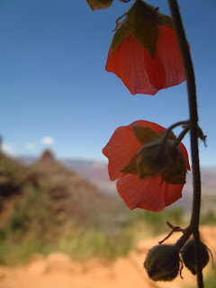 Grand Canyon, orange Globemallow flower
