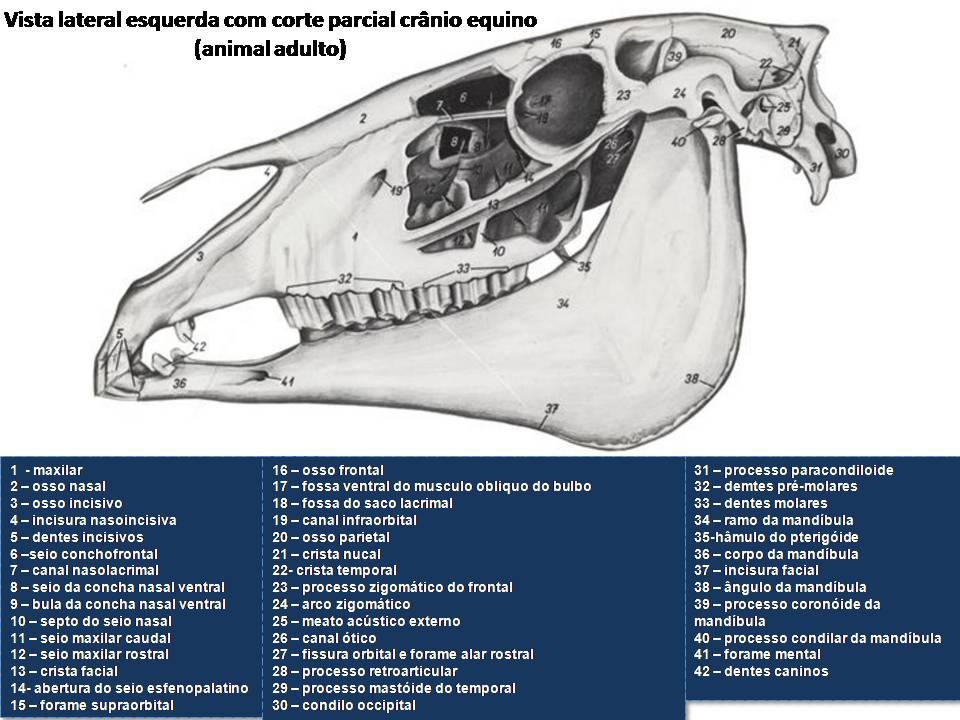 Contemporáneo La Anatomía De La Mandíbula Canina Friso - Anatomía de ...