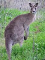 Tanpa Metamorfosis - Kanguru
