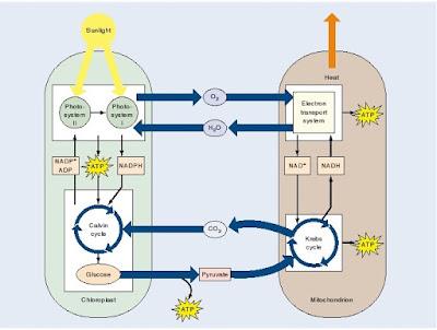 kloroplast dan mitokondria