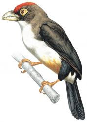 Pogonornis minor