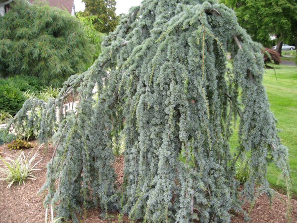 A guide to northeastern gardening weeping evergreens in for Specimen evergreen trees small
