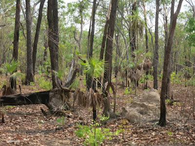 Kakadu forest