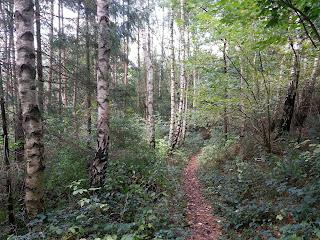 Birken stehen in einer geschwungenen Reihe am Weg entlang