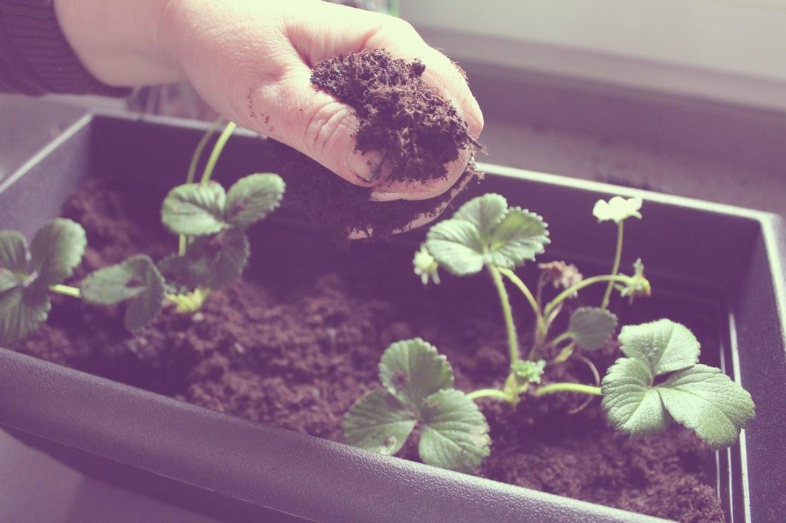 7 tips para plantar fresas con éxito