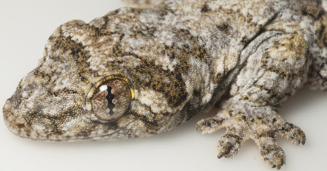 Research reveals swaths of Asia inhabited by surprisingly related 'Lizards of the Lost Arcs'