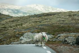 mouton croisés sur la route