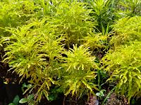 Teknik Menanam dan Merawat Tanaman Hias Brokoli Kuning Bagi Pemula