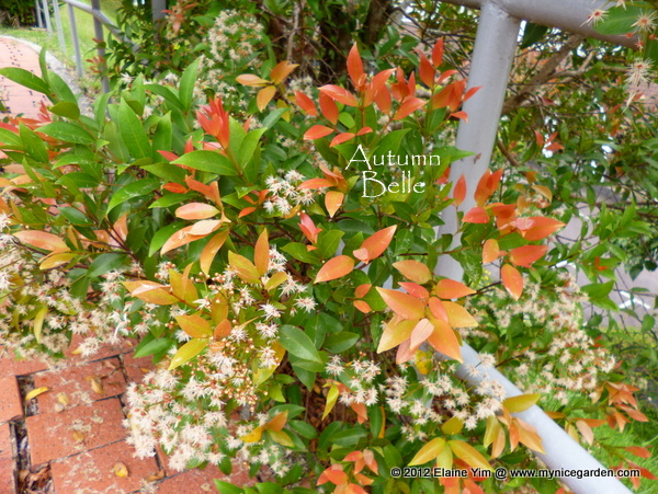 My Nice Garden: Eugenia oleina Tree - Syzygium myrtifolium