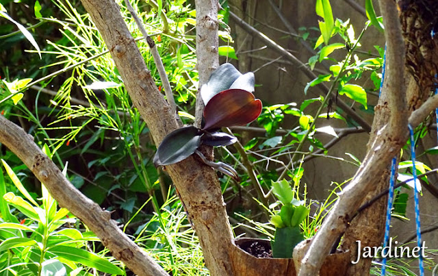 Replante de phalaenopsis na árvore