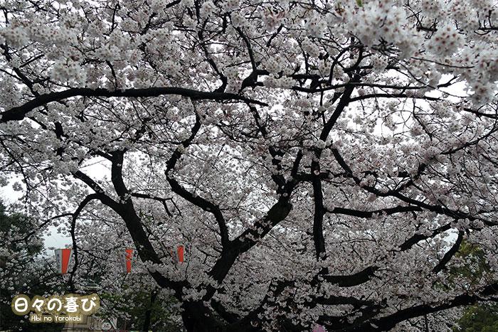 floraison sakura ueno parc