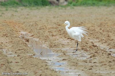 Agró blanc (Ardea alba)