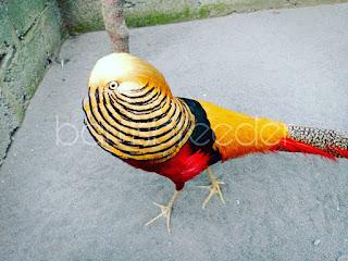 harga ayam pheasant terbaru