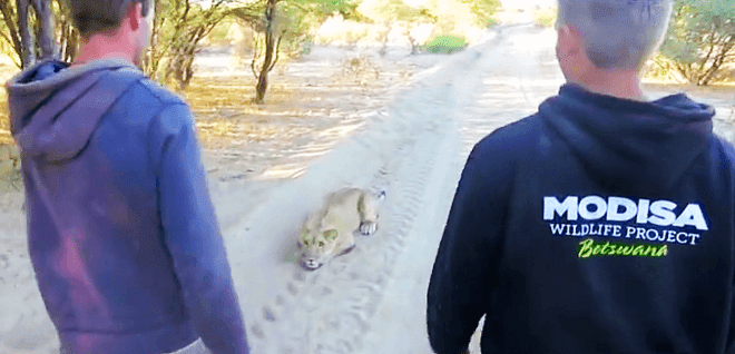 They Confront This Crouching Lion On A Path. Watch What Happens When It Realizes Who They Are