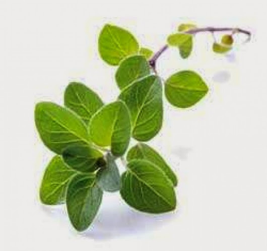 Spotlight: Oregano Essential Oil