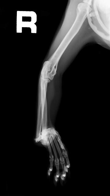 no unión ósea en gato