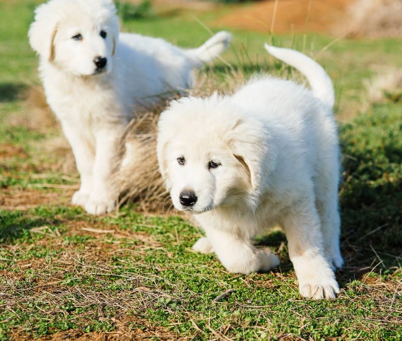 maremma puppies art and architecture mainly maremma dogs protect fairy 6996