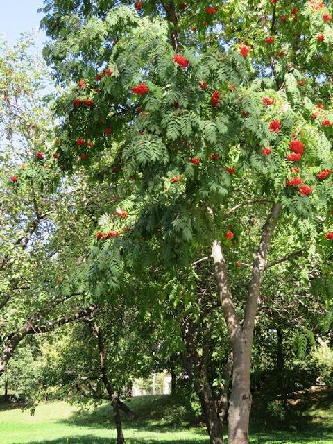 Tramazeira (Sorbus aucuparia) ou Sorveira