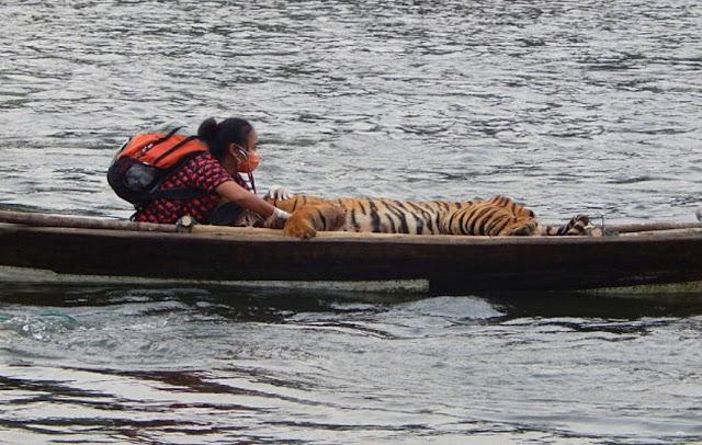 Yanti Musabine ketika menyelamatkan Giring dengan Menyeberangi Sungai Seblat  Mengenal Yanti , Perempuan Penyelamat Harimau Sumatera