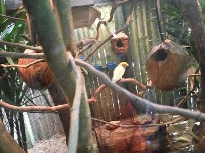 burung dari australia