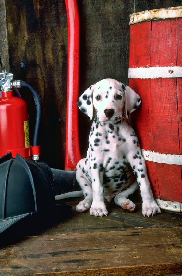 See more Dalmatian puppy http://cutepuppyanddog.blogspot.com/