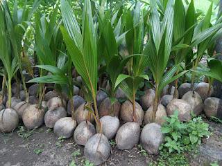 budidaya tanaman bibit kelapa wulung. Jual bibit kelapa wulung siap tanam untuk masa penghujan dan musim semi. Kelapa hijau asli bisa di dapatkan di jogja dengan alamat di situs tersebut. hobi budidaya tanaman kelapa untuk investasi jangka panjang.