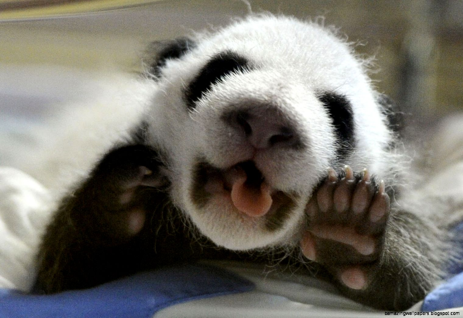Cute Baby Pandas Tumblr | Wallpapers Background