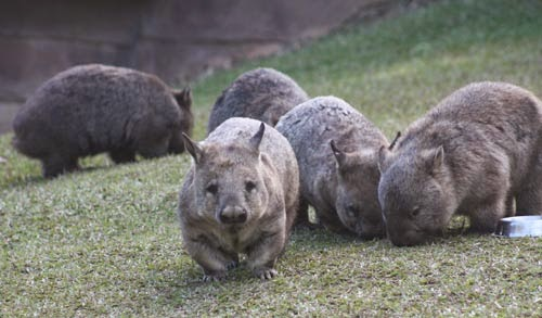 A Southern hairy-nosed wombat poses for a photo.