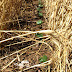 Research study: Winter wheat feasible cover crop for Rolling Plains cotton