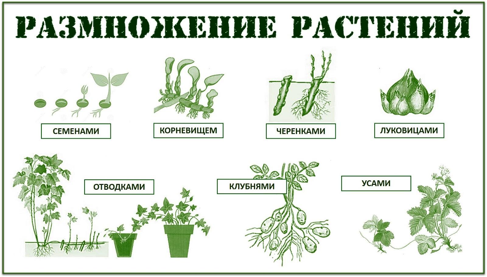 Ночи, картинки способы размножения растений