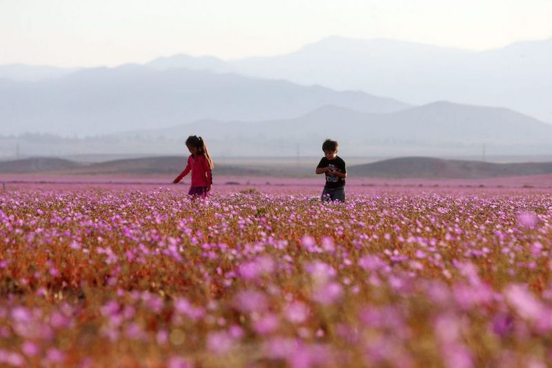 Flores en el desierto. Desierto Florido Atacama (Chile) 2015 Foto Mario Ruiz (EFE)