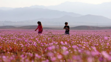 Flores en Atacama. El desierto florido en 2015
